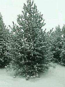 2017年将是冷冬,白皮松苗木该如何防护?