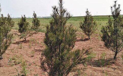 白皮松苗圃地的松土除草管理